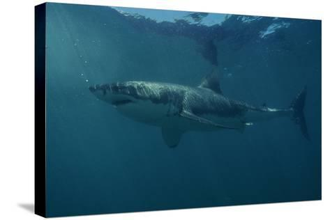 Great White Shark-Alexis Rosenfeld-Stretched Canvas Print