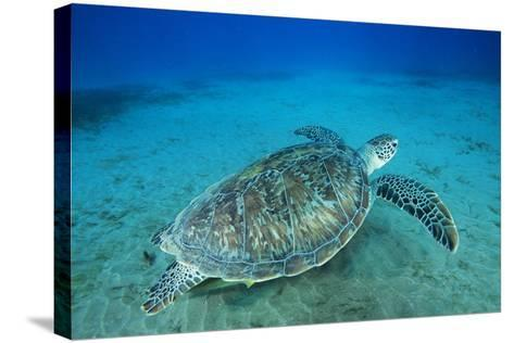Green Sea Turtle-Alexis Rosenfeld-Stretched Canvas Print