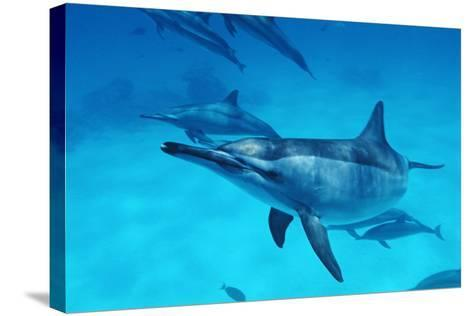 Spinner Dolphins-Alexis Rosenfeld-Stretched Canvas Print