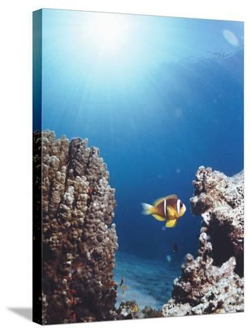 Twoband Anemonefish-Peter Scoones-Stretched Canvas Print