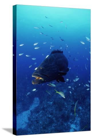 Grouper-Alexis Rosenfeld-Stretched Canvas Print
