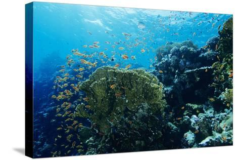 Coral Reef In the Red Sea-Alexis Rosenfeld-Stretched Canvas Print