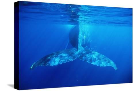 Humpback Whale's Tail-Alexis Rosenfeld-Stretched Canvas Print