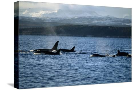 Killer Whales-Alexis Rosenfeld-Stretched Canvas Print