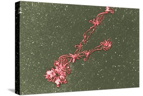 Lampbrush Chromosomes, TEM-Science Photo Library-Stretched Canvas Print