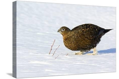 Female Red Grouse In Snow-Duncan Shaw-Stretched Canvas Print