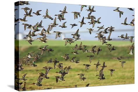 Flock of Common Teal-Duncan Shaw-Stretched Canvas Print
