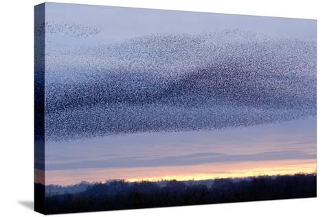 European Starling Flock-Duncan Shaw-Stretched Canvas Print