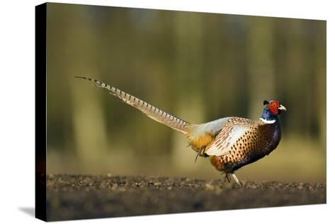 A Male Pheasant-Duncan Shaw-Stretched Canvas Print