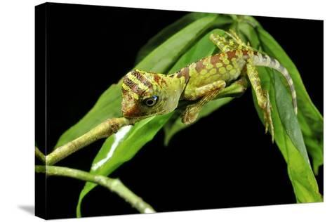 Borneo Forest Dragon Lizard-Robbie Shone-Stretched Canvas Print