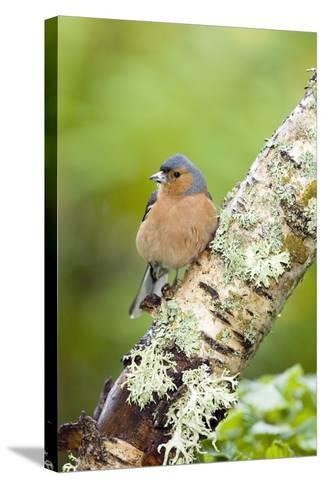 Chaffinch-Duncan Shaw-Stretched Canvas Print