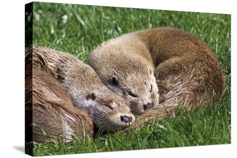 European Otters-Duncan Shaw-Stretched Canvas Print