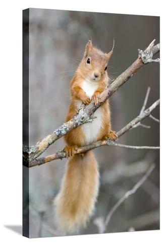Red Squirrel on a Branch-Duncan Shaw-Stretched Canvas Print