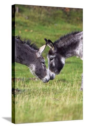 Donkeys Touching Noses-Duncan Shaw-Stretched Canvas Print