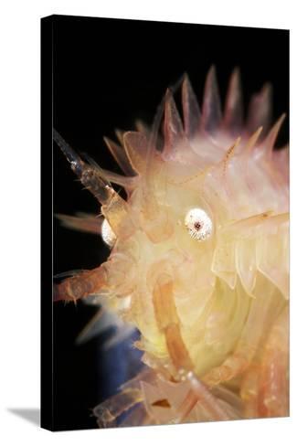 Amphipod Crustacean-Alexander Semenov-Stretched Canvas Print