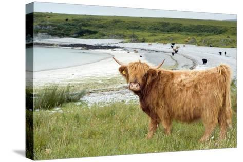 Highland Cattle by the Sea-Duncan Shaw-Stretched Canvas Print