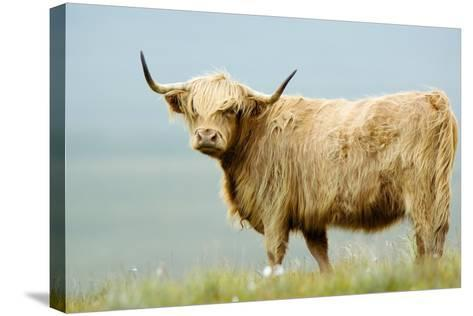 Highland Cow-Duncan Shaw-Stretched Canvas Print