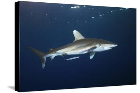 Oceanic Whitetip Shark-Alexander Semenov-Stretched Canvas Print