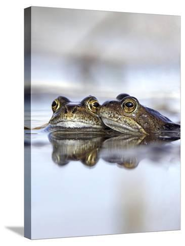 Common Frogs Spawning-Duncan Shaw-Stretched Canvas Print