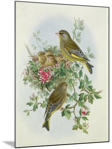 Greenfinch, 1873-John Gould-Mounted Giclee Print