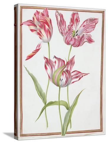 Pd.109-1973.F14 Three 'Broken' Tulips-Nicolas Robert-Stretched Canvas Print