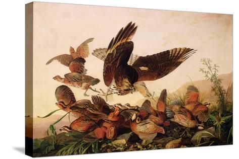Red-Shouldered Hawk Attacking Bobwhite Partridges, 1827-John James Audubon-Stretched Canvas Print
