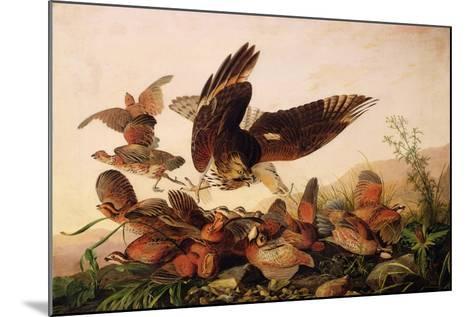 Red-Shouldered Hawk Attacking Bobwhite Partridges, 1827-John James Audubon-Mounted Giclee Print
