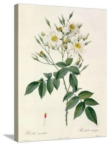 Rosa Moschata or Musk Rose-Pierre-Joseph Redout?-Stretched Canvas Print