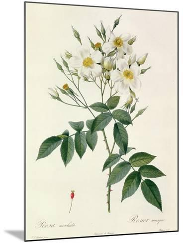 Rosa Moschata or Musk Rose-Pierre-Joseph Redout?-Mounted Giclee Print