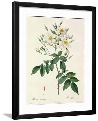 Rosa Moschata or Musk Rose-Pierre-Joseph Redout?-Framed Art Print