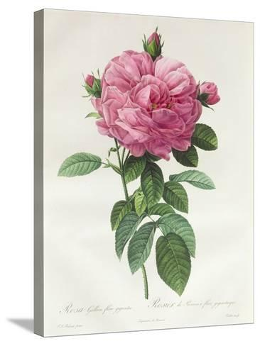 Rosa Gallica Flore Giganteo-Pierre-Joseph Redout?-Stretched Canvas Print