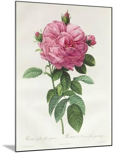 Rosa Gallica Flore Giganteo-Pierre-Joseph Redout?-Mounted Giclee Print