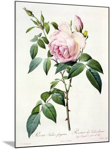 Rosa Indica Fragrans, Engraved by Langlois, Published by Remond-Pierre-Joseph Redout?-Mounted Giclee Print