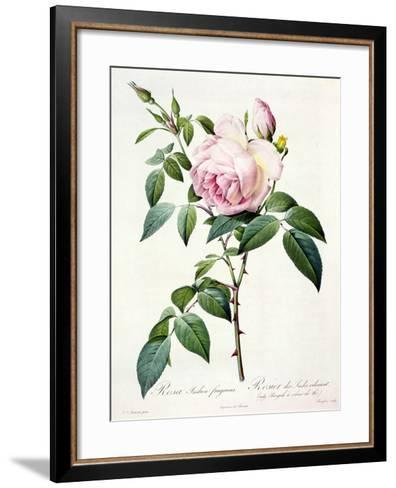 Rosa Indica Fragrans, Engraved by Langlois, Published by Remond-Pierre-Joseph Redout?-Framed Art Print