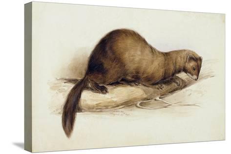 A Weasel, 1832-Edward Lear-Stretched Canvas Print