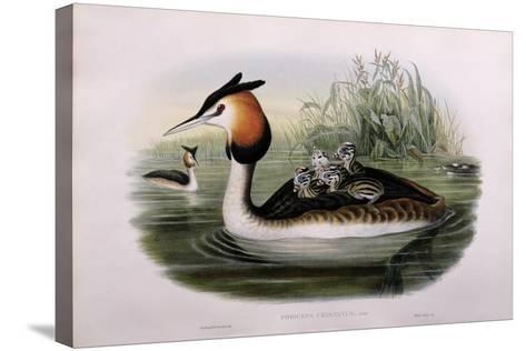 Great Crested Grebe (Podiceps Cristatus)-John Gould and H.C. Richter-Stretched Canvas Print