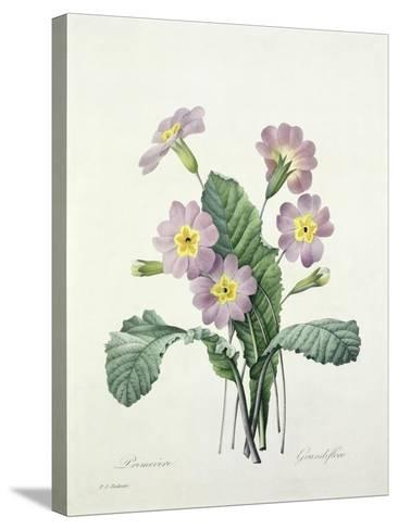 Primula (Primrose), Engraved by Bessin, from 'Choix Des Plus Belles Fleurs', 1827-Pierre-Joseph Redout?-Stretched Canvas Print