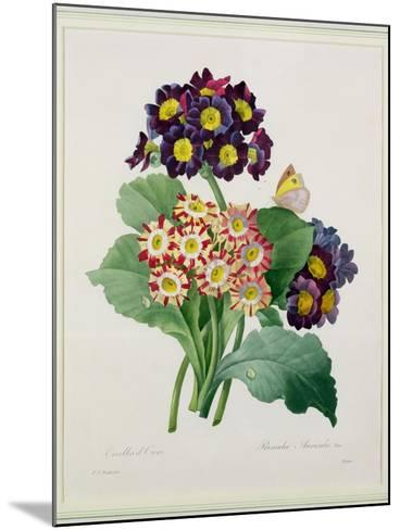 Primula Auricula, Engraved by Victor, from 'Choix Des Plus Belles Fleurs', 1827-Pierre-Joseph Redout?-Mounted Giclee Print