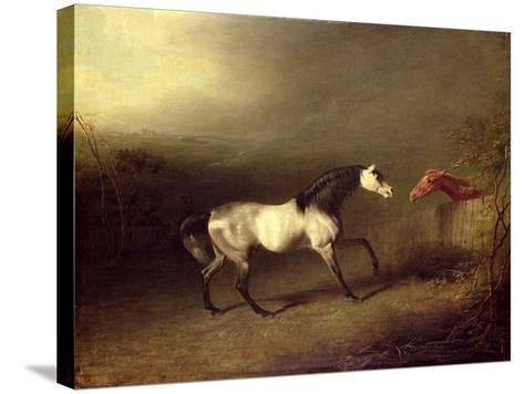 The Grey Arab-Sawrey Gilpin-Stretched Canvas Print