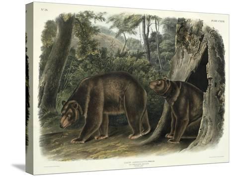 Ursus Americanus, Var. Cinnamonum (Cinnamon Bear), Plate 127 from 'Quadrupeds of North America',…-John Woodhouse Audubon-Stretched Canvas Print
