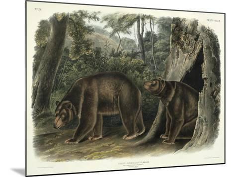 Ursus Americanus, Var. Cinnamonum (Cinnamon Bear), Plate 127 from 'Quadrupeds of North America',…-John Woodhouse Audubon-Mounted Giclee Print