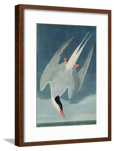Arctic Tern, from 'Birds of America', Engraved by Robert Havell (1793-1878) Published 1835-John James Audubon-Framed Art Print