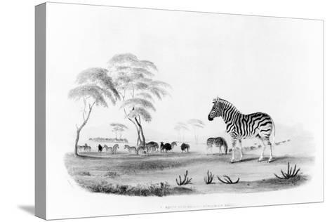 Equus Burchelli, or Burchell's Zebra, from 'Portraits of the Game and Wild Animals of Southern…-William Cornwallis Harris-Stretched Canvas Print