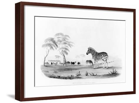 Equus Burchelli, or Burchell's Zebra, from 'Portraits of the Game and Wild Animals of Southern…-William Cornwallis Harris-Framed Art Print