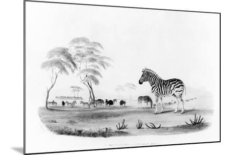 Equus Burchelli, or Burchell's Zebra, from 'Portraits of the Game and Wild Animals of Southern…-William Cornwallis Harris-Mounted Giclee Print