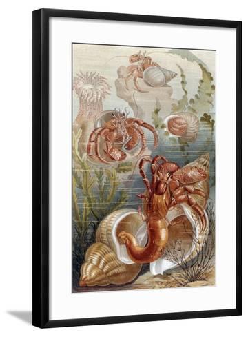 """Hermit Crabs, Plate from """"Brehms Tierleben: Allgemeine Kunde Des Tierreichs"""", Vol.10, P.38,…-German School-Framed Art Print"""