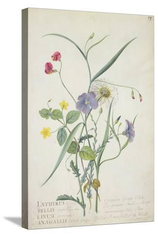 Lathyrus Nissolia, Chrysanthemum Leucanthemum, Linum Perenne, Lysimackia Nemorum, 1767-Georg Dionysius Ehret-Stretched Canvas Print