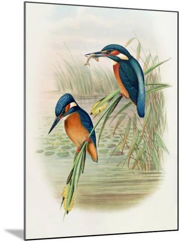 Alcedo Ispida, Plate from 'The Birds of Great Britain' by John Gould, Published 1862-73-William Hart and John Gould-Mounted Giclee Print