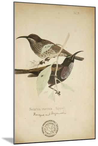 Nectarinia Cruentata, C.1863-Eduard Ruppell-Mounted Giclee Print