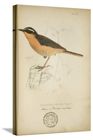 Bessonornis Semirufa, Ruppell, C.1863-Eduard Ruppell-Stretched Canvas Print